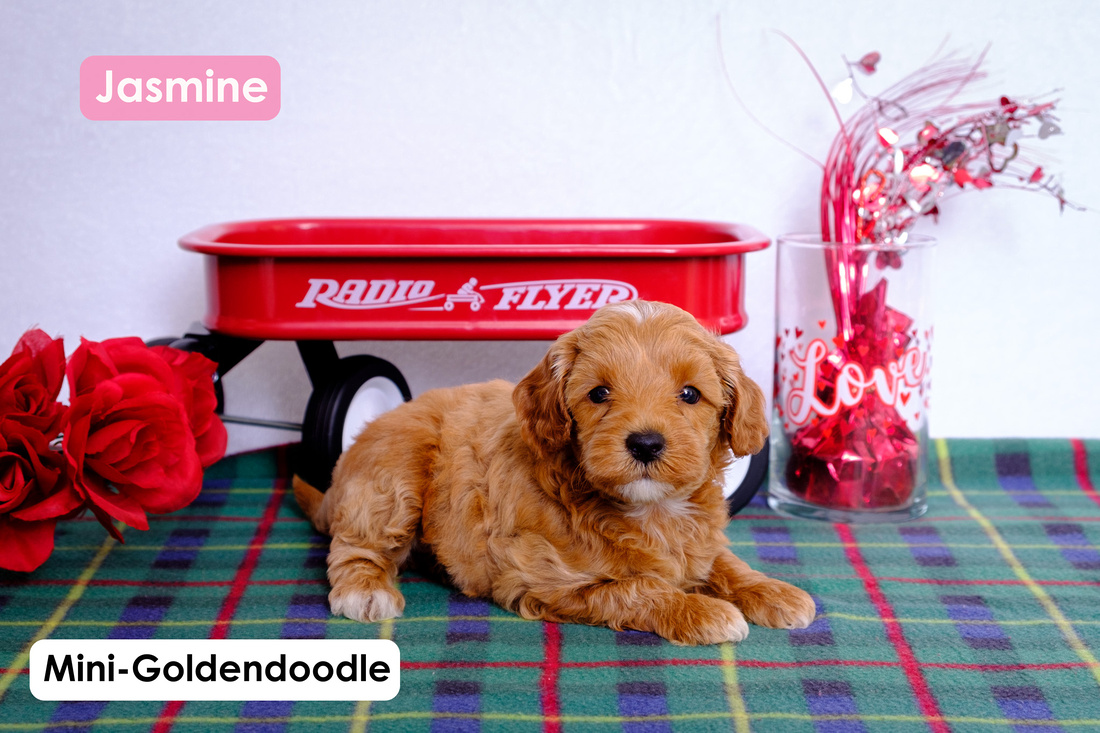 picture of a Mini-Goldendoodle puppy