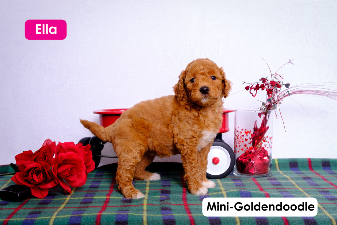 image of a puppy Mini-Goldendoodle