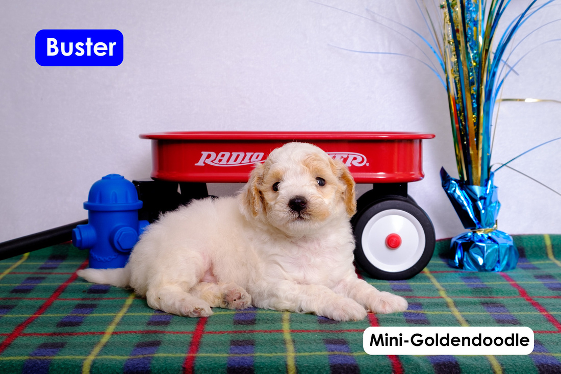 puppy picture of Mini-Goldendoodle