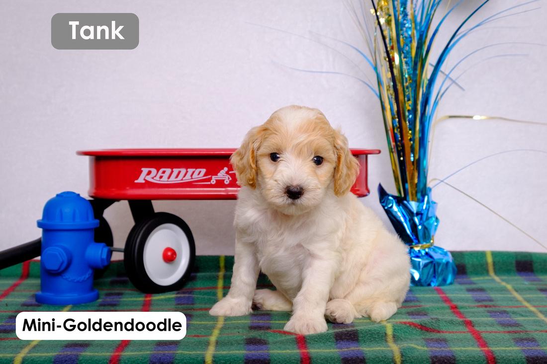Mini-Goldendoodle puppy