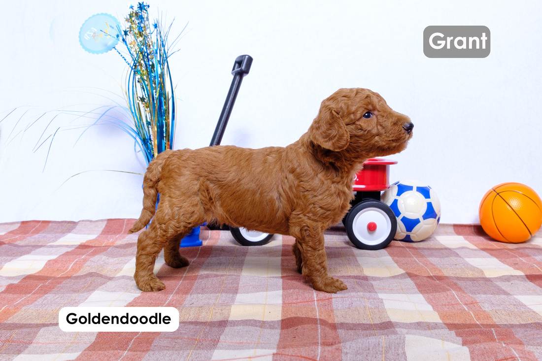 picture of a Standard Goldendoodle