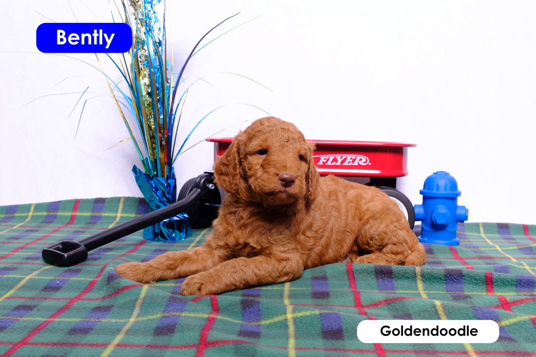 photo of Bently the goldendoodle
