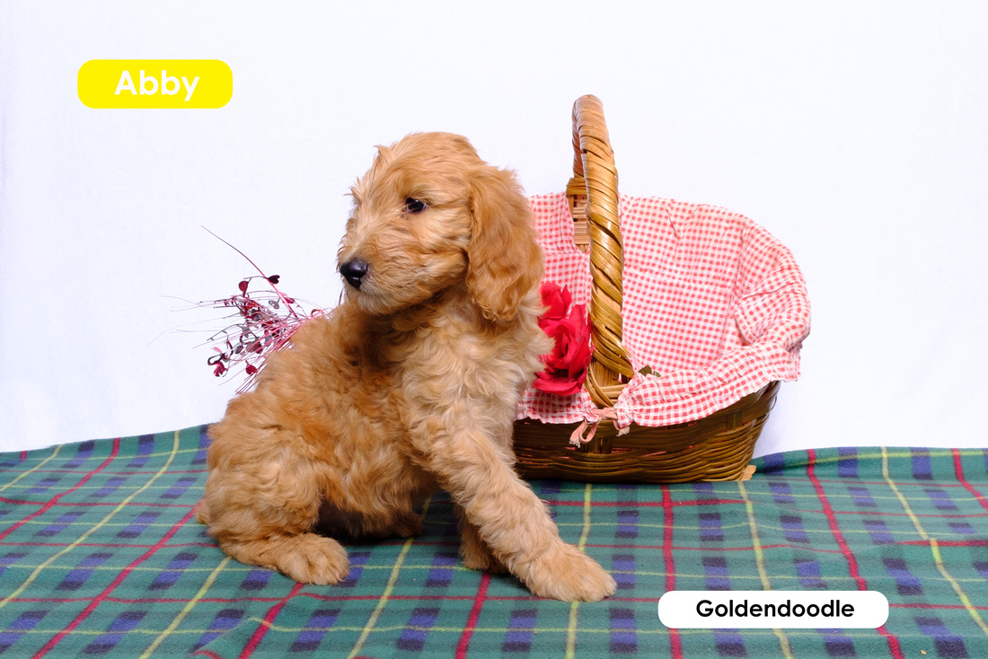 photo of a puppy goldendoodle next to a pink basket