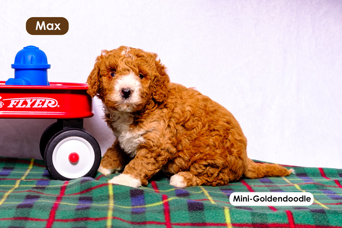 picture of adorable goldendoodle puppies