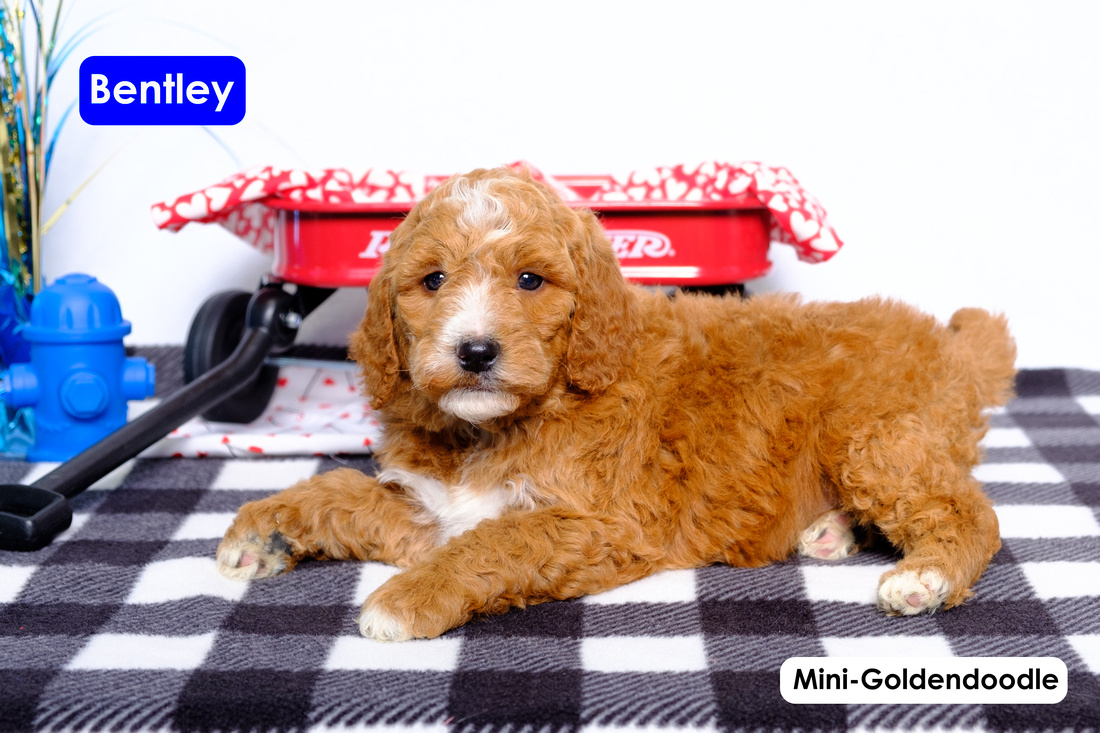 image of puppy Mini Goldendoodles