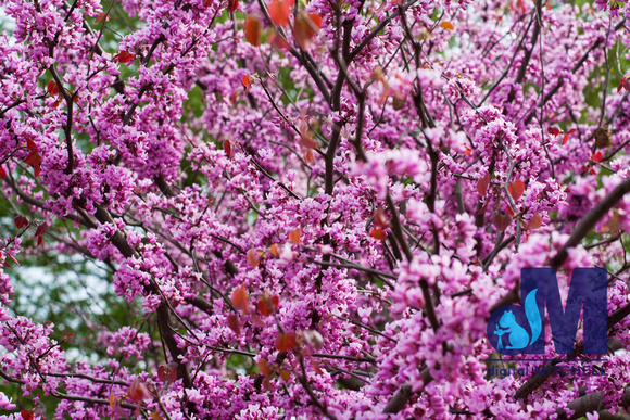 photograph of Spring flowering tree