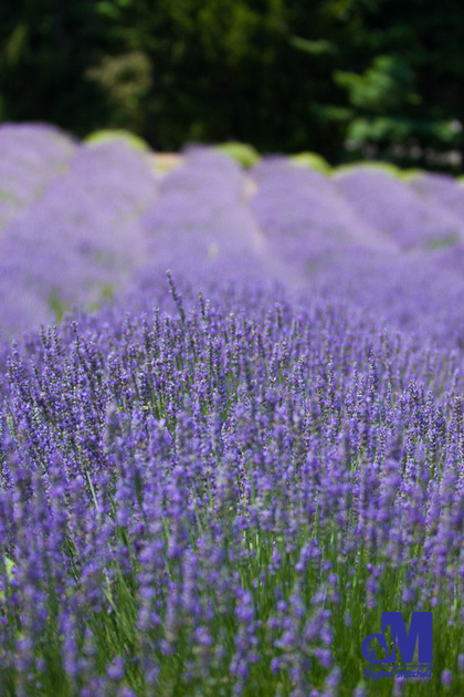 photograph of a field of purple lavender flowers
