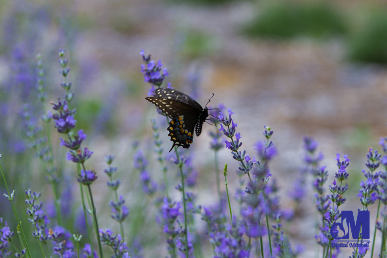 photograph of a butterfly on a purple lavender flower