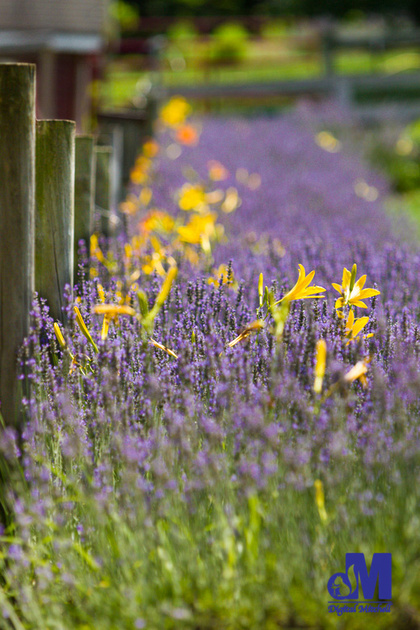 photograph of purple lavender and yellow flowers