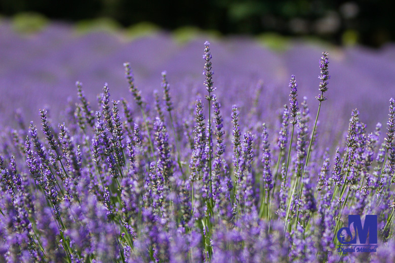 Photograph of a field of lavender
