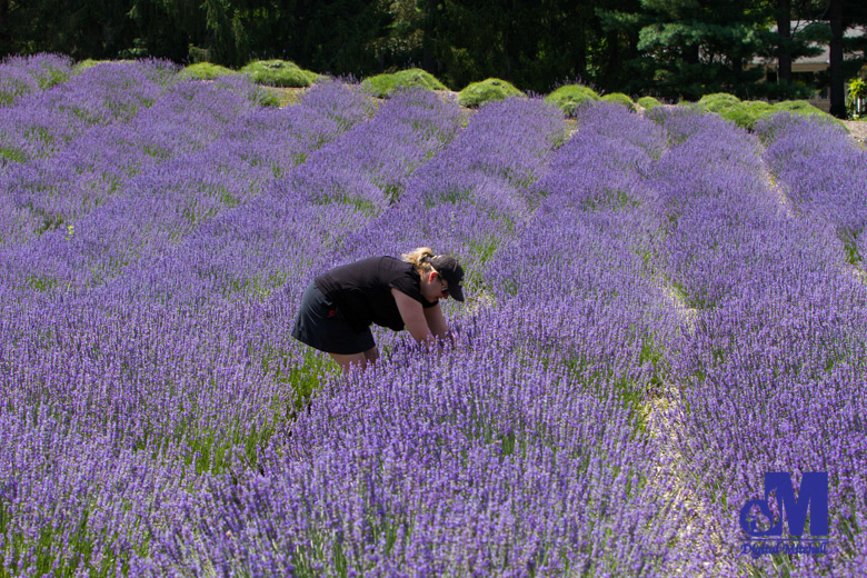 photograph of a woman picking purple lavender flowers