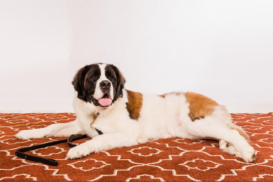 portrait of the St. Bernard dog